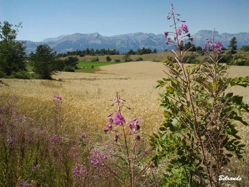 champs de céréales : avoine, blé, épeautre...