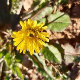 fleur de Crépis de Nîmes. Lat. Crepis sancta. Famille des Astéracées.