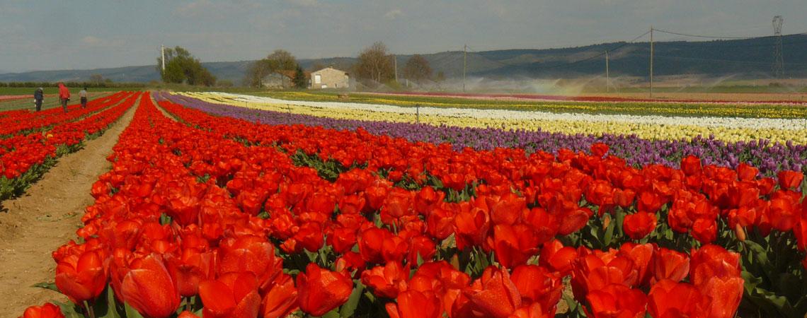 la-brillane champ de tulipes rouges