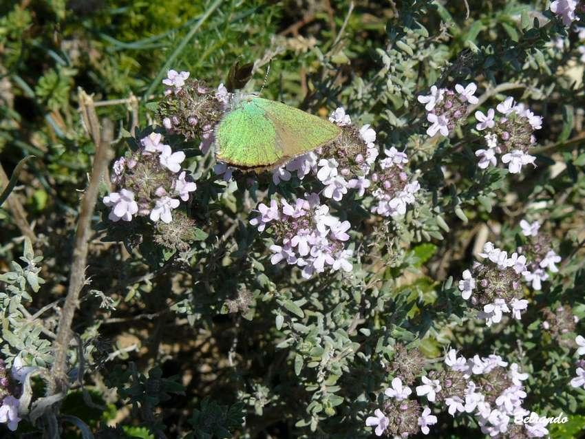 eguilles papillol Argus vert Callophrys rubi saint martin