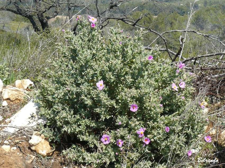 Plant de ciste en fleur