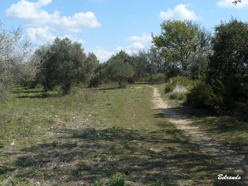 Sentier dans une oliveraie