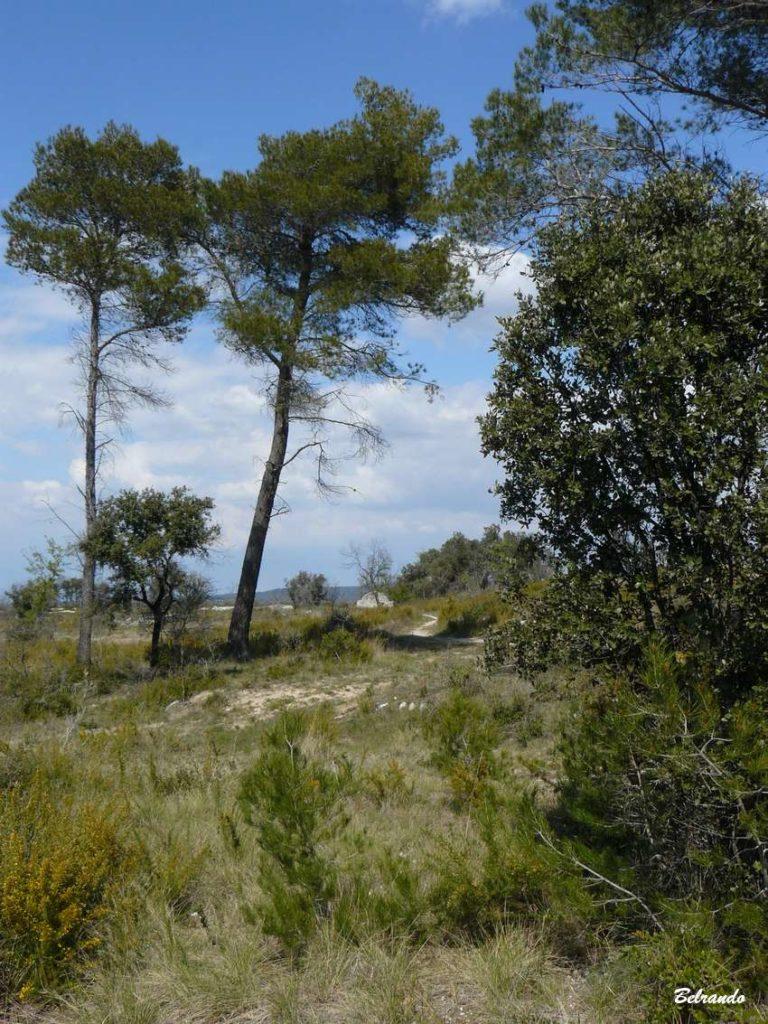 bouquet de pins et borie au loin
